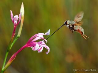 Long-tongued fly (Prosoeca ganglbaueri)