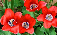 TEATIME FOR TULIPS (Irene2727) Tags: flowers flora floral red green nature closeup tulips tulip ngc npc