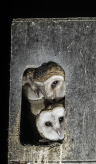 Three Young Owls Waiting For Dusk