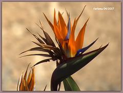 Almería 26 flor (ferlomu) Tags: almeria andalucia ferlomu flor flower birdofparadiseflower