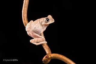 Big-Eyed Tree Frog D75_7224.jpg
