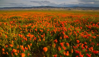 The wind and the poppy fields