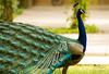Peafowl (mshubhajyoti) Tags: shubhajyotimohapatra shubhajyotiphotography ngc nikonian nikon nature wildlife wow beautifull peacock birdsiitk bird birdwatcher feather fantasticwildlife colorfull
