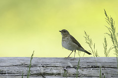 Swainson's Thrush (Chantal Jacques Photography) Tags: wildandfree bokeh depthoffield swainsonsthrush