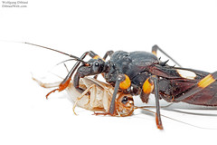Platymeris eating cricket (Wolfgang Dibiasi) Tags: platymeris biguttatus feeding frisst heimchen raubwanze gifttiere wolfgang dibiasi