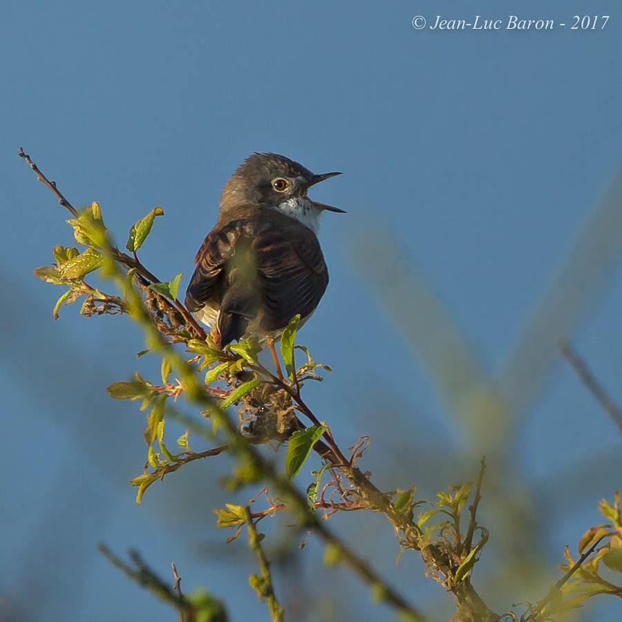The world 39 s best photos of oiseau and sylviacommunis for Oiseau france