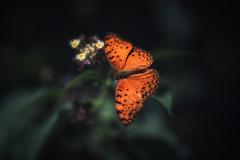 African leopard butterfly (johannekekroesbergen) Tags: phalantaphalantha africanleopard macro spottedrustic butterfly nature
