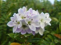 Veronica elliptica (tammoreichgelt) Tags: hebe veronica inflorescence kokomuka plantaginaceae koromiko shore allans beach otago peninsula