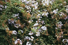 (Dibriu) Tags: bellas artes centro santiago chile santa lucia cordillera xtra fujifilm asa 400 portrait flowers calle pentax k1000