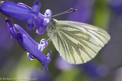 Green-veined White (Richard Becker Photography) Tags: butterfly insect green veineed white pieris napi veined