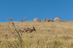 Coyote again (_quintin_) Tags: missionpeak california coyote animal fremont