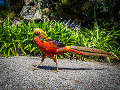 Golden Pheasant Tresco  2017 (davidmcbridephotography) Tags: tresco gardens flowers sea water sunshine travel colour vivid squirrell succulents plants trees palms boating isles scilly scillies united kingdom holiday islands scenic walking outdoors trecking rambling birds flower