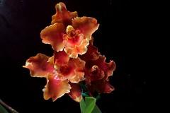 Odontoglossum Alliances Sleeping Parade (srorquídeas) Tags: odontoglossum orquídea orchidaceae orchids ornamental alliances sleeping parade
