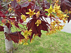 Red Maple Flowers (clickclique) Tags: trees maple redmaple flowers yellow spring outdoors nature