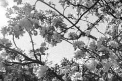 Jean-Marie et ses pruniers 12 (C'est géant!) Tags: jeanmarie bergeron simon emond fleur alcool vin prune verger metabetchouan saguenaylacsaintjean lacsaintjean saguenay