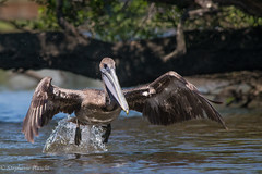 Brown Pelican (stephaniepluscht) Tags: alabama 2017 bon secour river brown pelican flight wings