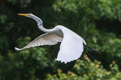 Great Egret 6-3-2017-33 (Scott Alan McClurg) Tags: aalba ardea ardeidae flickr animal back backyard bird bluesky flap flapping flight fly flying greategret land landing life nature naturephotography neighborhood portrait spring suburban urban white wild wildlife