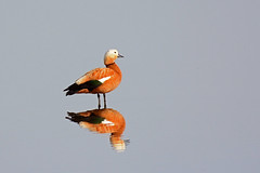 Ruddy Shelduck and reflection. (E P Rogers) Tags: wildfowl duck ruddy greece kos reflections water still