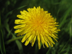 a dandelion (VERUSHKA4) Tags: petal dandelion spring may vue view ville fleur album flora nature green grass verdure yellow canon russia europe moscow city bright