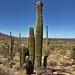 A Tightly Packed Grove of Saguaro Cactus
