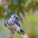 White Throated Magpie Jay