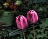 Night Tulips (ladyinpurple) Tags: lightroom pspxi picasa topaz adjust