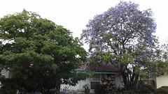 Jacaranda tree in bloom and pink trumpet tree (Daralee's Web World photos) Tags: jacarandatree