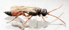 6 mm male ichneumon (ophis) Tags: hymenoptera parasitica ichneumonoidea ichneumonidae cryptinae phygadeuontini ichneumon