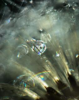 Dandelion Rainbows