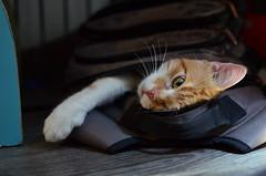 Burrowing beast (Luniul) Tags: cat redcat animal