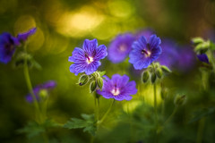 Fantastic reality (hploeckl) Tags: flower flowers blossoms blossom botanical bokeh blue botanicalgarden fantasy d750 fairytale colors garden wild purple prime pentacon nikon natur nikond750 natural mood macro moody outdoor painterly