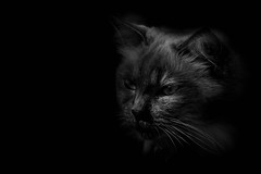 Mystical Misty (sianowen6) Tags: whiskers closeup portrait pet eyes shadow ragdoll blackwhite cats