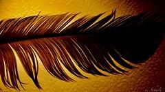 Silhouette - Feather (u. Scheele) Tags: makro macro macromondays nahaufnahme closeshot closeup digital tamron silhouette canon canoneos80d eos80d eos feather schattenbild mm hmm indoor orange light texture explore macromandays