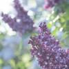 Parfum au Carré (Sous l'Oeil de Sylvie) Tags: lilas lilac pdc profondeurdechamps bokeh sousloeildesylvie pentax ks2 violet mauve pastel 90mmtamron muséedeslilas stgeorges beauce québec carré square