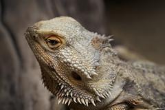 Lizard/Dragon (Strange Artifact) Tags: olympus em10 markii 60mm f28 mzuiko digital ed kleincostarica