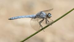Blue jeans (jrosvic) Tags: dragonfly odonata orthetrumbrunneum entomology libelula anisoptera nikond7100 nikon60mm28dmicro kenkopro300x14 murcia spain freehand