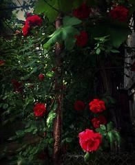 Rose flower, роза (Anna Gelashvili) Tags: цветокроза роза rose flower цветок flowers цветочки garden красныецветочки tree