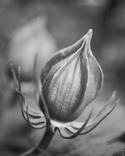 Hibiscus bud.jpg