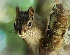peeking around the alder branch... (SarahLTweedale) Tags: squirrel nature photoart topazsoftware