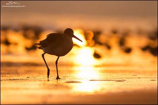 Willet at sunrise