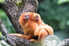 DSC00636 (sylviagreve) Tags: 2017 apenheul goldenliontamarin apeldoorn gelderland netherlands nl