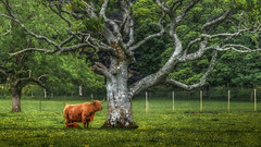 The Tree of Life .... (Einir Wyn Leigh) Tags: landscape scotland fence tree animal cow cattle foliage leaf light orange outside flowers meadow field colours vibrant love happy summer june