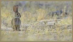 desert cottontail (Christian Hunold) Tags: desertcottontailrabbit cottontail rabbit bunny catalinastatepark sonorandesert arizona christianhunold