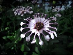 African Daisy (Lilac Spoon) (Genie W.) Tags: torontophotowalks toronto allangardens flowers gardens africandaisy topw2017rs canonpowershotsx40hs