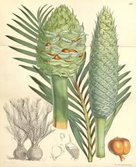 Anglų lietuvių žodynas. Žodis macrozamia spiralis reiškia <li>macrozamia spiralis</li> lietuviškai.