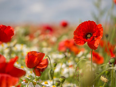 A field full of happiness - my favourite red poppies :-) (Unni Henning - busy with granddaughter visiting (a) Tags: poppies red flowers blossom field wildflowers summer bluesky closeup outdoor plants nature happiness margueritas