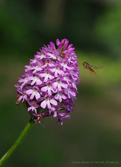 Hover Fly comming into land on a Pyramidal Orchid (favmark1) Tags: pyramidalorchid anacamptispyramidalis favershamorchids britishorchids wildorchids kent orchids 2017 365 365challenge day172 faversham hoverfly