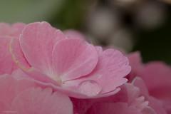 Drip Drop. (sdupimages) Tags: dof bokeh splashes drop drip goutte flower fleurs hortensias hydrangea macro macromondays