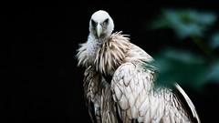Vulture (brandpirate.onlinemarketing) Tags: vulture geier falconry falknerei wildlife black wildnis schwarz bird vogel brandpirate