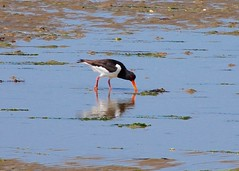 Oyster catcher (crs17) Tags: solent oystercatcher beach lowtide bird